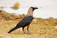 Side profile of a crow, Gadi Sagar, Jaisalmer, Rajasthan, India