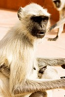 Close-up of a monkey, Jaigarh Fort, Jaipur, Rajasthan, India
