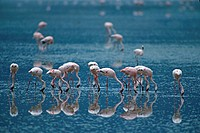 Lesser Flamingo , Phoenicopterus minor , Lake Nakuru , Kenya , Africa , group feeding