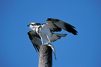 Osprey , Pandion haliaetus , Florida , USA , America , adult with prey