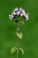 Marjoram, Origanum majorana, Germany, bloom herb