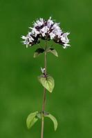 Marjoram, Origanum majorana, Germany, bloom herb