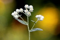 Pearly everlasting, Anaphalis margaritacea, Germany, bloom