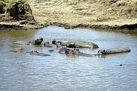 Hippopotamus, Hippopatamus amphibius, Masai Mara, Kenya, group