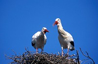 White Stork , Ciconia ciconia , Europe , Germany , Africa , adult couple , pair  clapping on nest social behaviour
