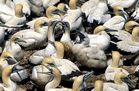 Cape Gannet , Morus capensis , Lambert`s Bay , South Africa , Africa , colon with young chicks