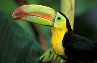 Keel Billed Toucan , Ramphastos sulfuratus , Latin America , Central America , South America , adult portrait