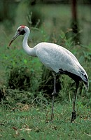 Brolga Crane , Grus rubicundus , Australia , adult