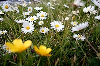 Daisy blossoms on meadow, Bellis perennis