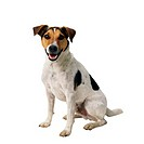 Jack Russell Terrier Sitting