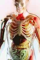 See through human figure, front view