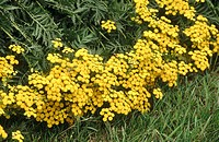 Common tansy (Tanacetum vulgare). Schleswig-Holstein. Germany.