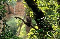 Bandhavgarh National Park. Madhya Pradesh, India