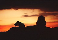Lion and lioness (Panthera leo) in field at sunset