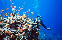 Corals. Red Sea. Sharm El Sheik. Egypt.