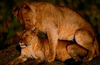 Lionesses (Panthera leo) mating, side view, Masai Mara, Kenya