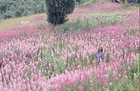 Woman walking through blooming meadow, elevated view