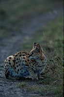 Serval (Felis serval) sitting and watching, side view, Mara, Kenya