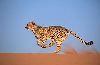 Cheetah (Acinonyx jubatus), running. Game farm, Namibia (captive)
