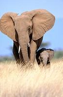 African Elephants (Loxodonta africana), mother and calf. Samburu National Reserve. Kenya