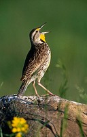 Western Meadowlark (Sturnella neglecta). Custer S.P., South Dakota, USA