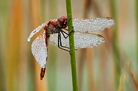 Dragonfly with dew on wings, holding on reed