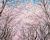 Arch Of Cherry Blossom Trees