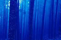 Trees, horizontal, in a blue mist, bare
