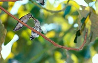 Anna´s Hummingbirds (Calypte anna). Mother feeding chick. San Diego, California.