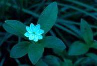 Star Flower, Trientalis arctica.