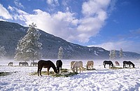 Horses feeding on hay in the winter snow, Methow Valley, Washington State, USA