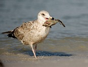 Herring Gull (Larus argentatus) with fish, De Soto Park beach, near Tampa, Florida, USA