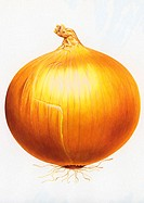 Illustratin of Onion