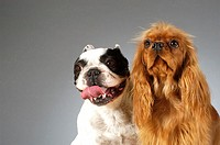 Close-up of a Boston Terrier and a Cocker Spaniel