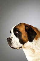 Side profile of a St. Bernard dog