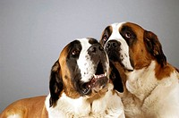 Close-up of two St. Bernard dogs looking up