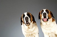 Portrait of two St. Bernard dogs