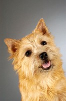 Portrait of a Yorkshire Terrier