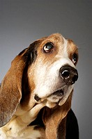 Close-up of a Basset Hound looking up