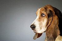 Side profile of a Basset Hound
