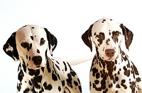 Portrait of two Dalmatians