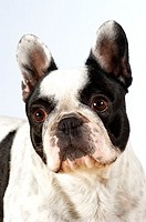 Close-up of a Boston Terrier looking away