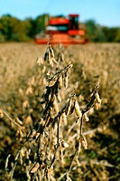 Closeup of soy bean plant and combine harvesting in the background, in Midwest