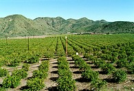 Orange Groves in Southern California