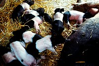 Closeup of sow and baby pigs on Henry Wilmington, Ohio
