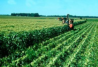 Farmers Picking sweet corn in the field, Minnesota
