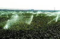 Irrigation of cotton