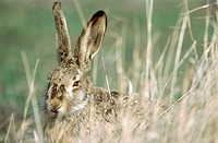 Hare (Lepus capensis europaeus) sitting in dry grass. Portrait. Spring. National Park of the Lake of Neusiedel. Austria