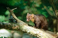 Pine marten (Martes martes) walking over a branch, summer. National Park Bavarian Forest. Germany.