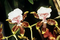 Cambria orchid flowers. Cambria orchids are intergeneric hybrids of several genera of orchid including Cochlioda, Miltonia, Oncidium and Odontoglossom...